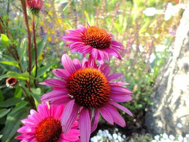 Sonnenhut - Gartengestaltung Frank Klemt